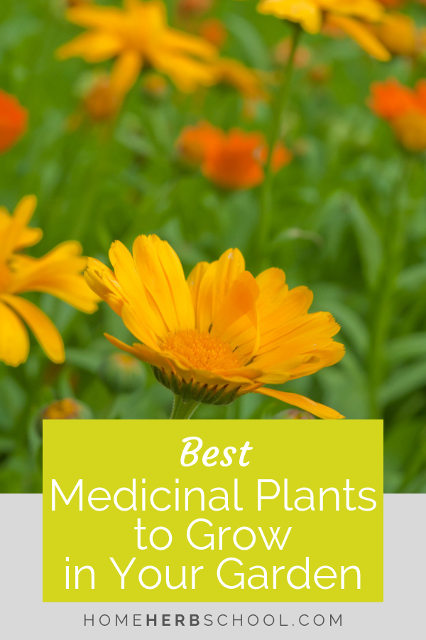 Learn the best medicinal herbs to grow in your garden. They all have multiple uses in herbalism and are easy to grow. #Herbalism #HerbalMedicine #HerbalismCourse