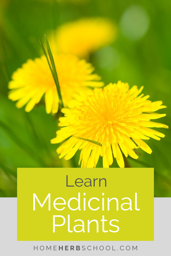 Learn your medicinal plants. Root are an important part of herbalism, including dandelion, burdock and yellow dock. #Herbalism #HerbalMedicine #LearnMedicinalPlants
