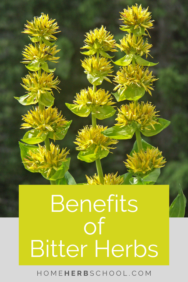 In herbalism, there are many benefits of bitter herbs. They are important herbal medicine for healthy digestion. #Herbalism #HerbalMedicine #BitterHerbs