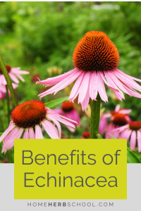 Discover the echinacea benefits which are well known in the practice of herbalism. It helps to boost the immune system for colds and flu as well as respiratory infections. Learn how to take a tincture or tea.