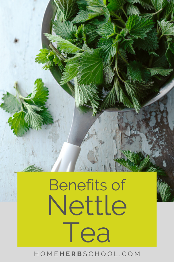 Discover the benefits of nettle tea. The leaf of stinging nettle uses includes nutrition, liver health, anemia, skin, hair, food, joint pain, PMS and menopausal symptoms. #Herbalism #HerbalMedicineCourse